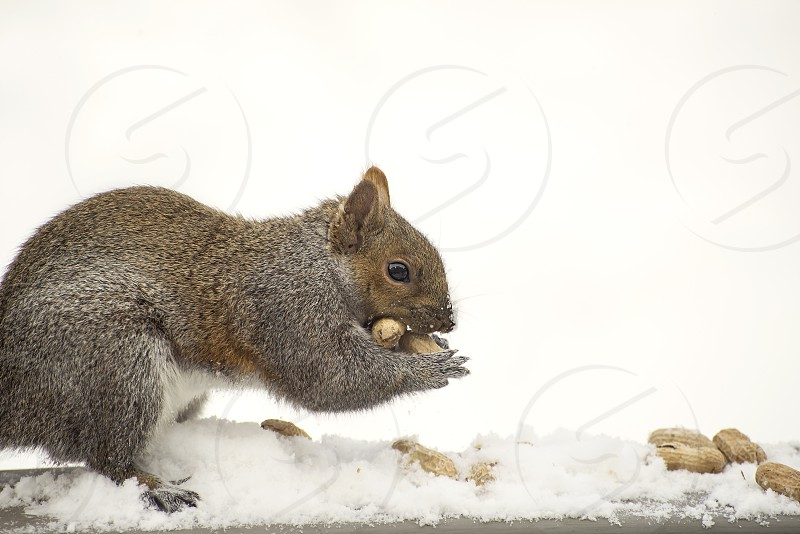 Close up of a squirrel eating nuts. photo