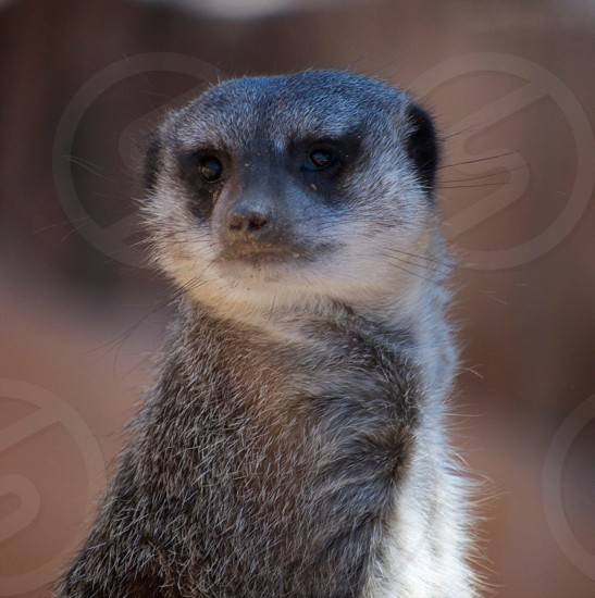 Either a Merkat or a Prairie Dog on watch in the desert of New Mexico.  photo