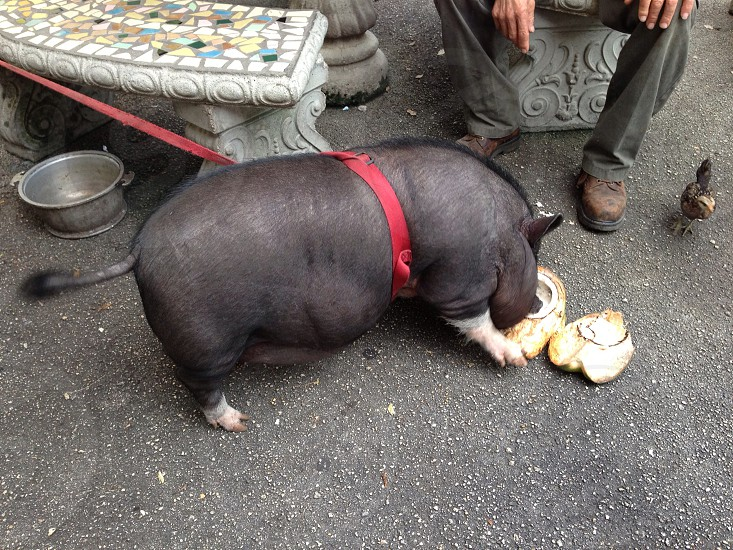 Pig eating coconut. photo