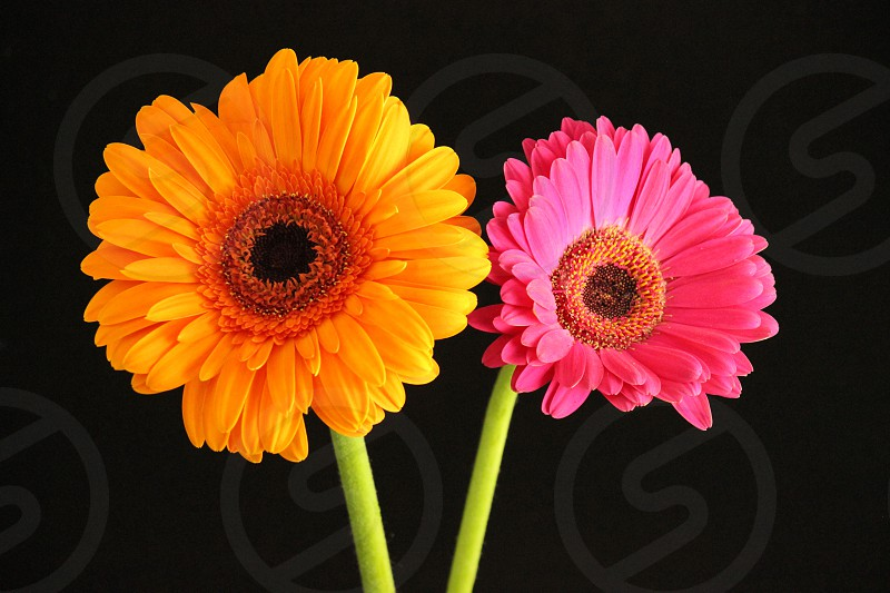 Colorful daisy flower on a black background photo