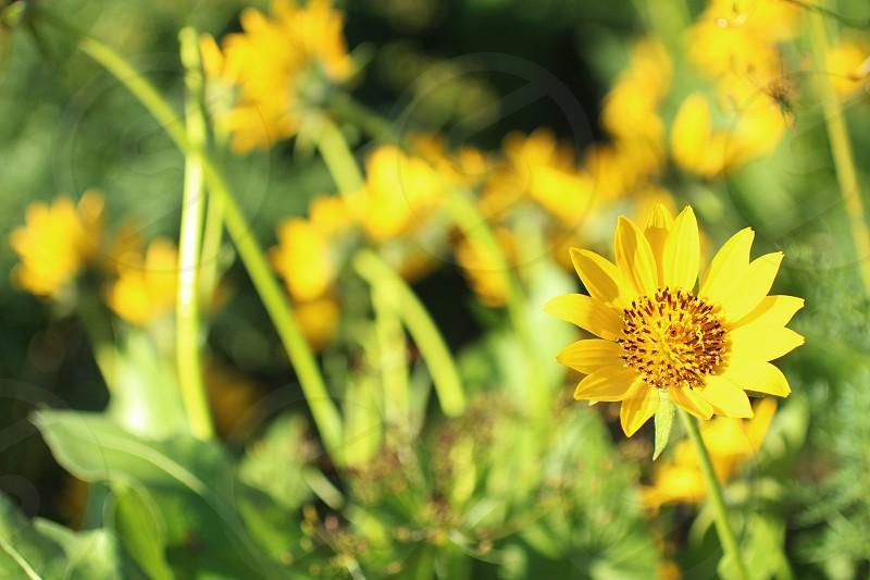 Beautiful macro closeup of this yellow wildflower. photo