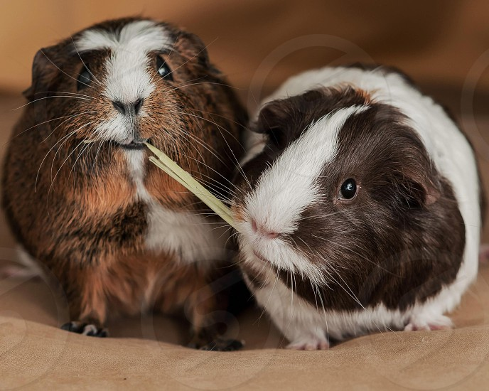 My guinea pigs sharing a piece of hay.  photo