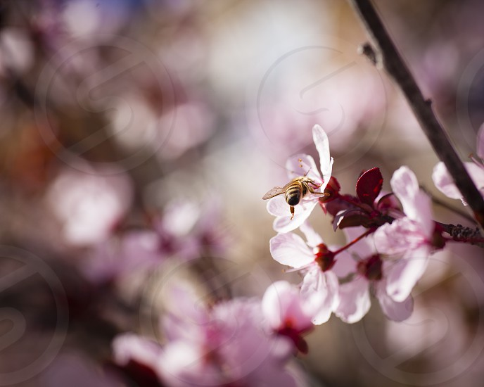 fruit trees blossom bees pollinate pollination hive pink spring  photo