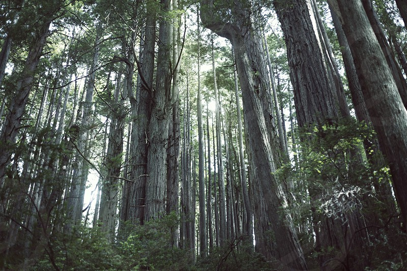 Trees of Mystery California Redwoods. photo