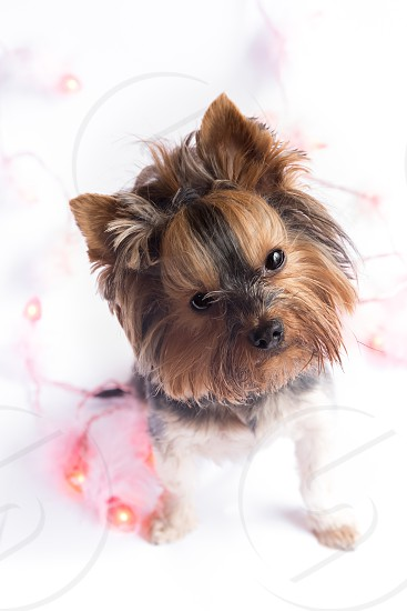 brown and black long haired small dog photo