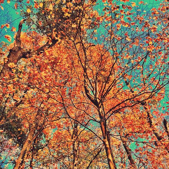 orange leafed tree photo photo