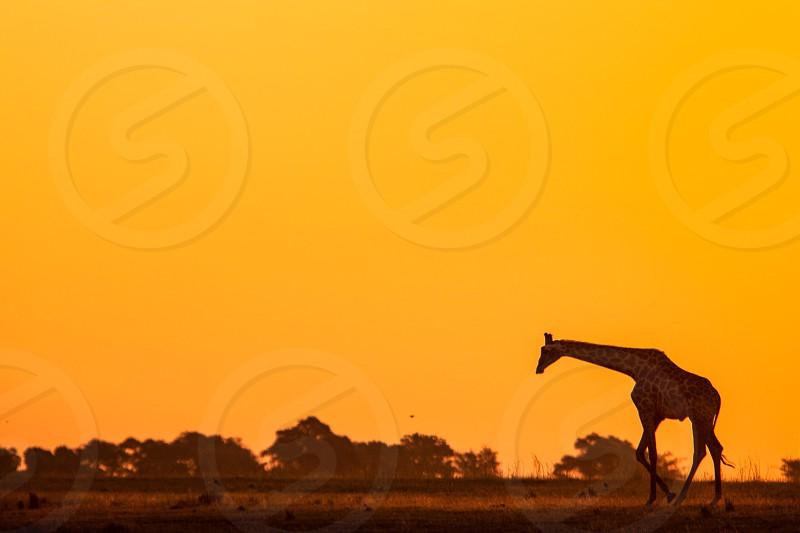 giraffe on plains during orange sunset photo