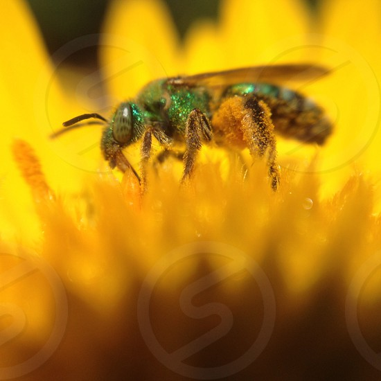 green bee on yellow flower photo