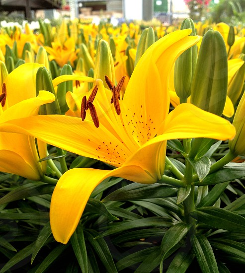 Asiatic Lily Yellow Flower Flowers Green Leafs photo