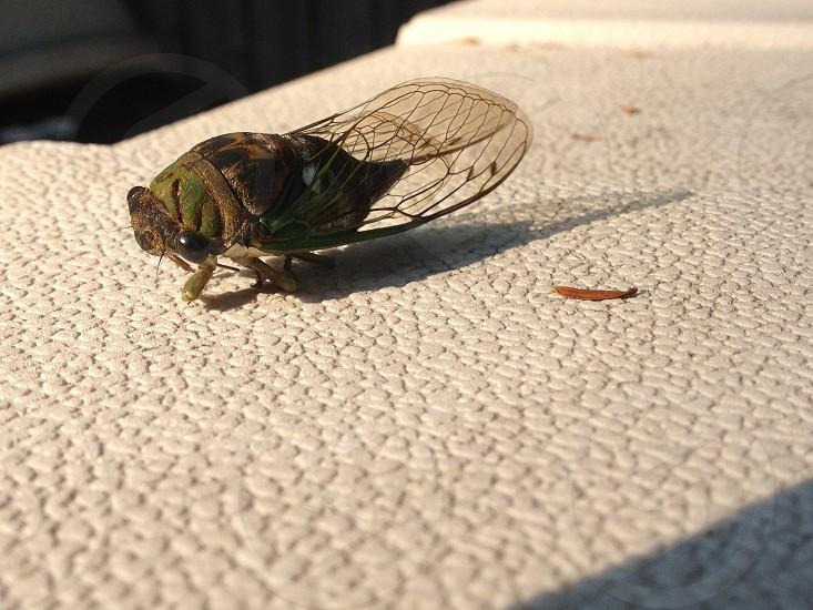 Cicada Close-up photo