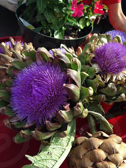 Artichoke flower at the local farmers market  photo