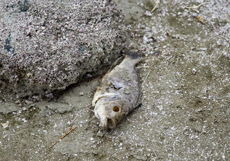 Dead fish are a common sight at the Salton Sea photo