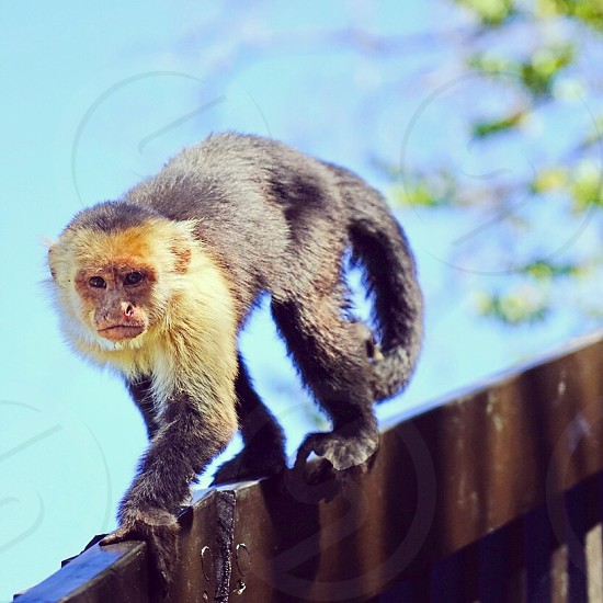 Monkey capuchin animal white-headed Wild wildlife Costa Rica Guanacaste angle  photo