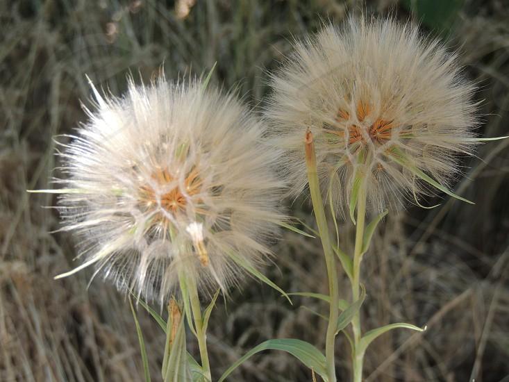 two white dandelion flowers photo