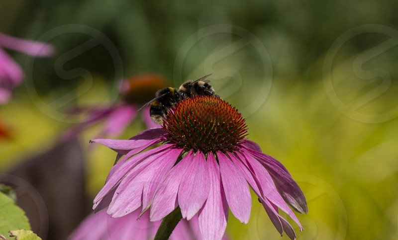 Bee on the Coneflower photo