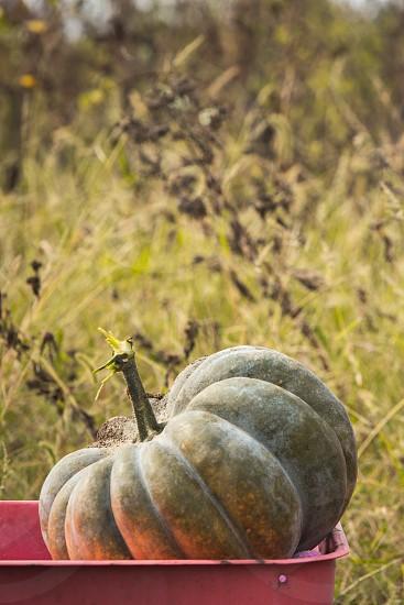Autumn pumpkin in field. photo