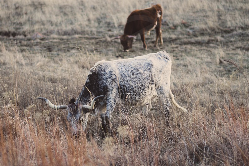 Oklahoma Longhorn Meadow Field photo