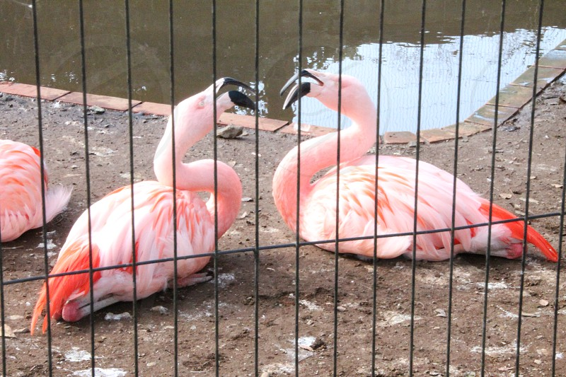 two flamingos behind black metal grill near body of water photo