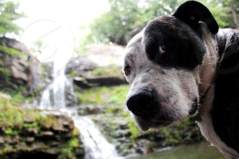 adult black and white American pit bull terrier near waterfalls at daytime photo