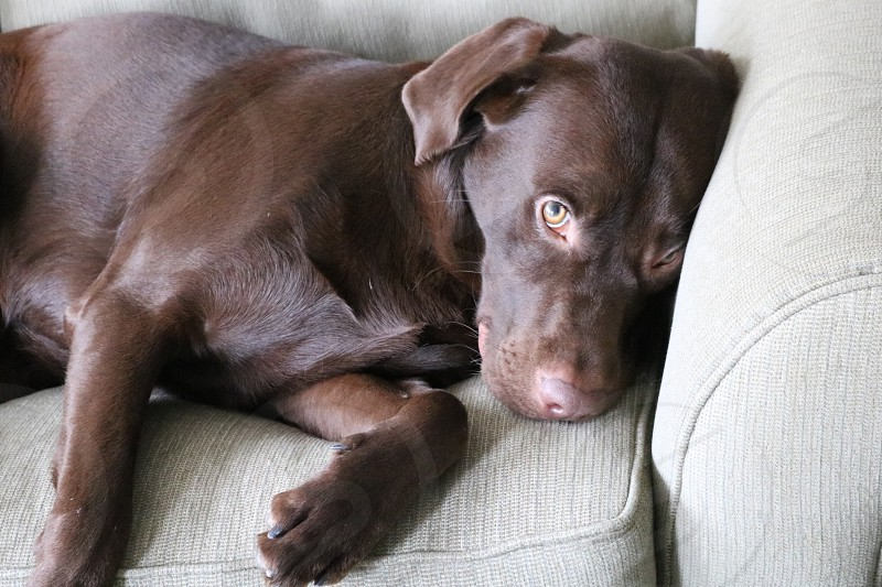 Tired Puppy puppy chocolate Lab Labrador tired chocolate lab puppy photo