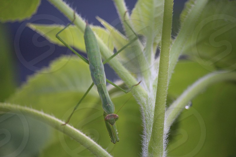 green praying mantis on green leafed plant photo
