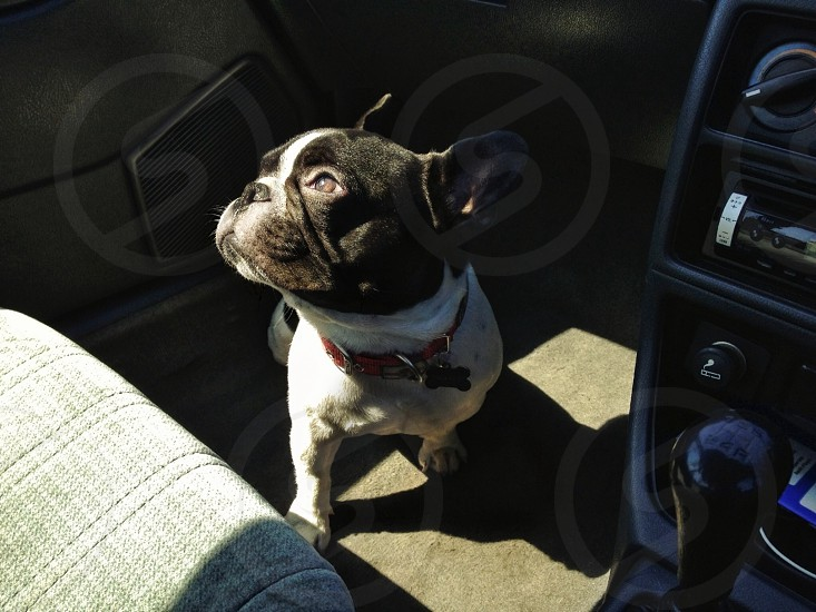 French bulldog in the car photo