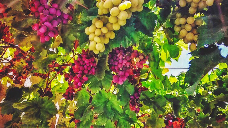 low angle close up photo of yellow and purple grapes with green leaf during daytime photo