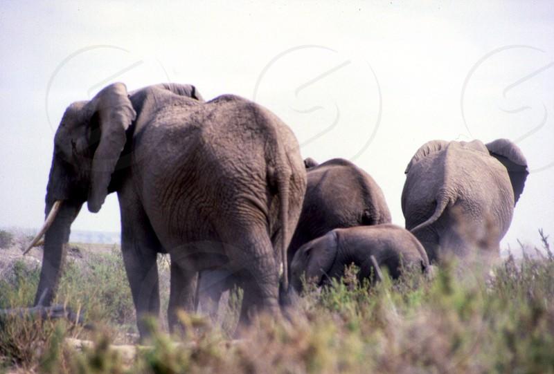 The elephant family moving on.   Amboseli National Park Kenya photo