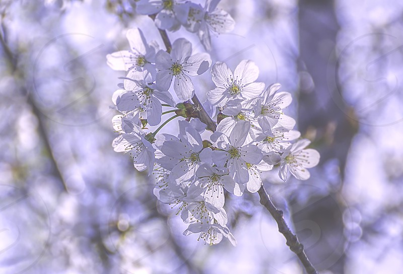 Delicate white flowers on blossoming tree in spring on dreamy background. photo