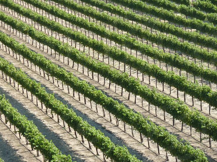 grape rows photo