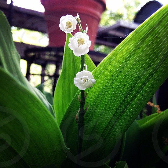 Lily of the Valley photo