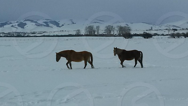 Our two horses walking through the deep snow. photo