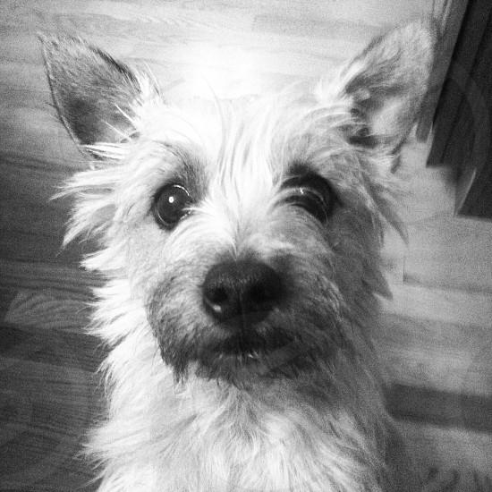 Cairn Terrier puppy dog scruffy photo