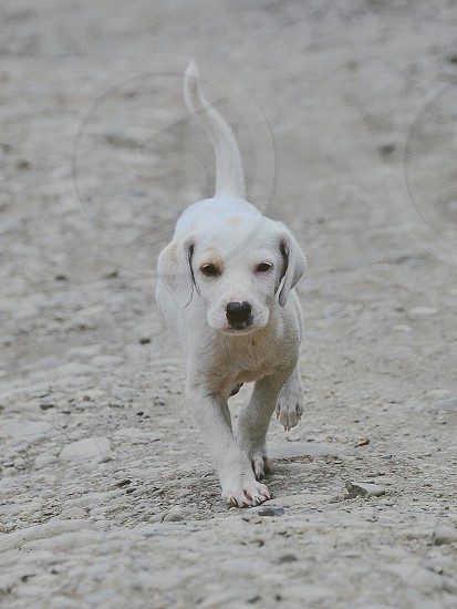white and tan jack russell terrier puppy walking photo