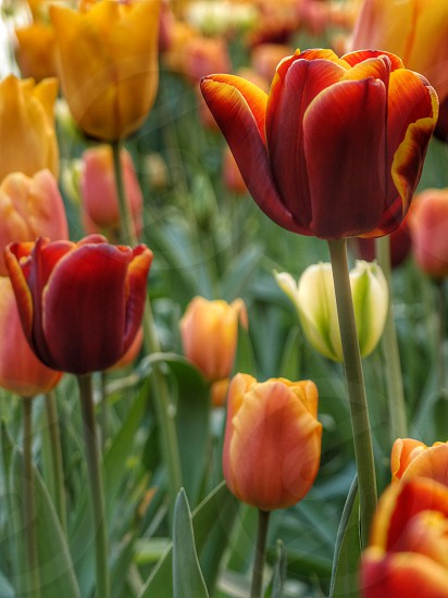 Beautiful Tulips photo