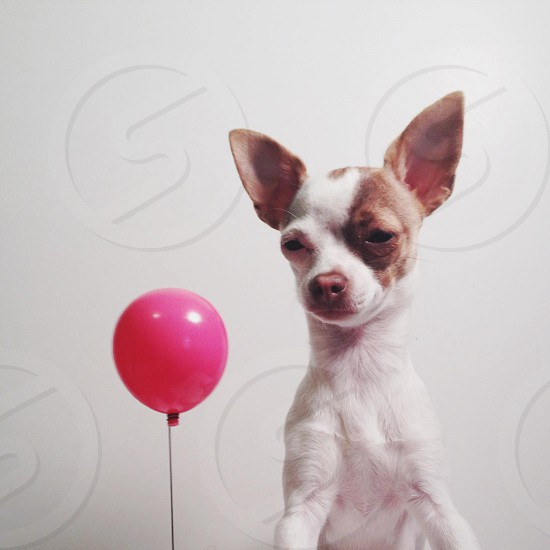 brown and white chihuahua near red balloon photo