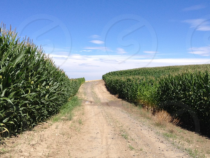 gray road between green corn fields photo
