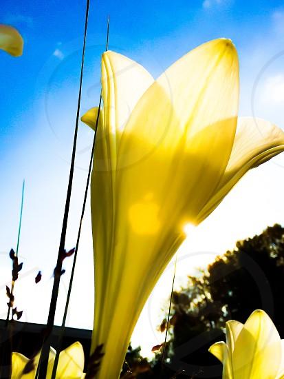 Lily pistil pistils petals petal flower bouquet orange green lilies seed lovely colorful colour closeup apple transparent nature sunshine sun sunny sky photo