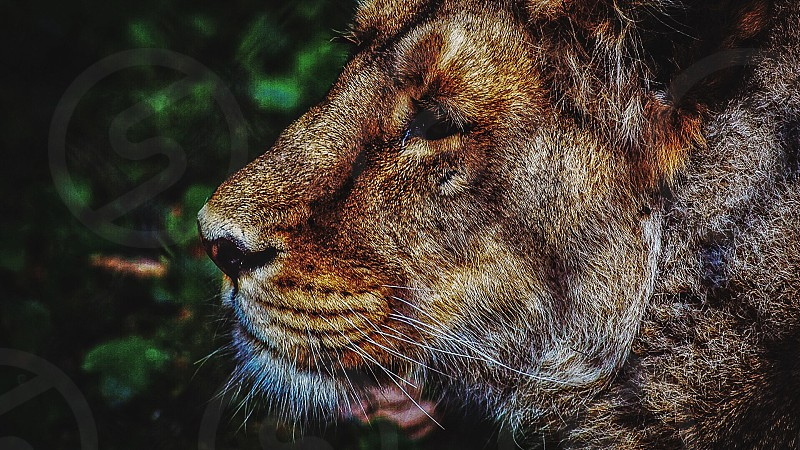 brown lioness bokeh photography photo