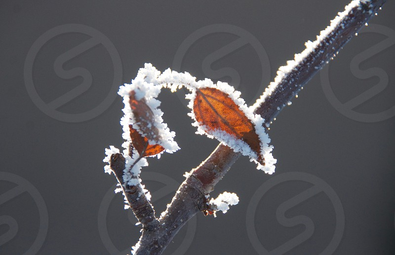 Frost on Leaf photo