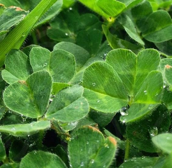 Dew on shamrocks. Eugene Oregon photo
