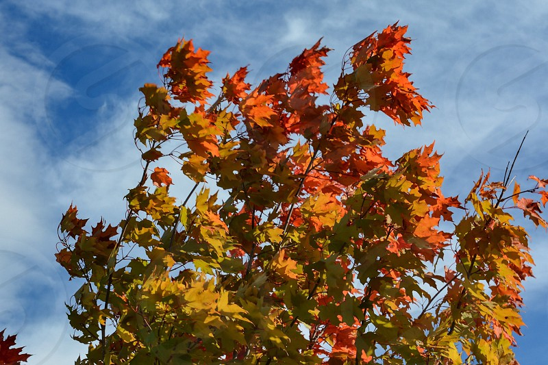 Sugar Maple tree in Autumn photo