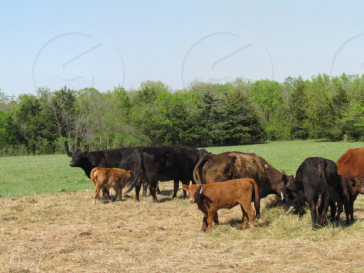 Cattle grazing on the grassy pasture. Hayfield grass cow bovine calf beef  photo