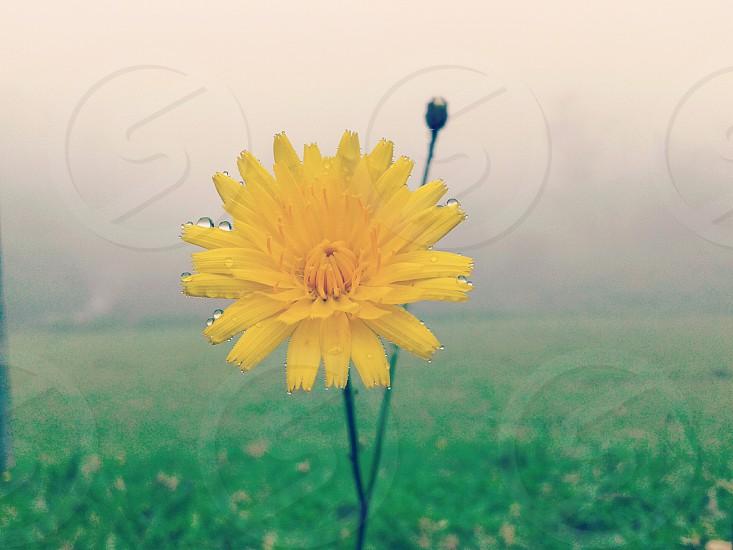 A wild Chrysanthemum flower with dew photo