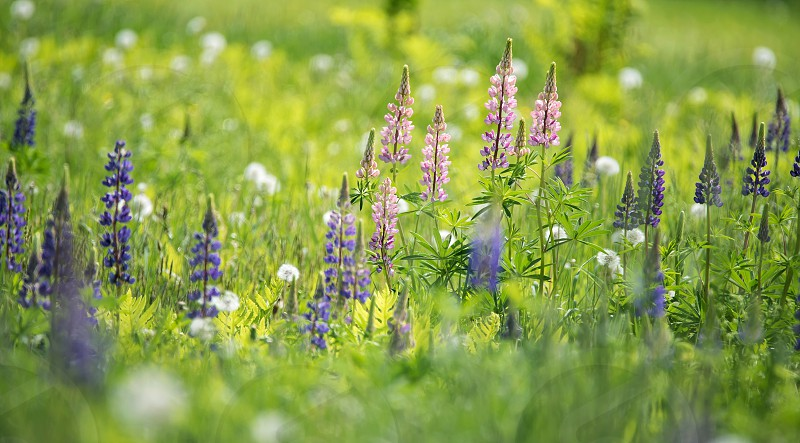 Lupine Field photo