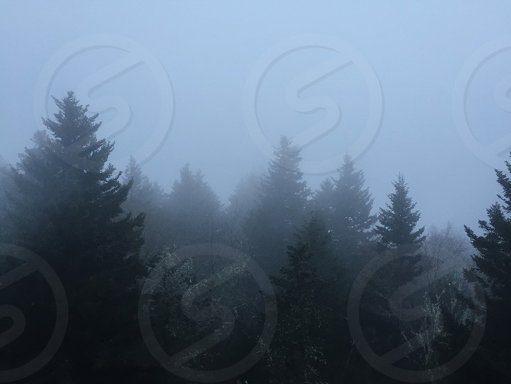 green pine trees engulfed by fog photo