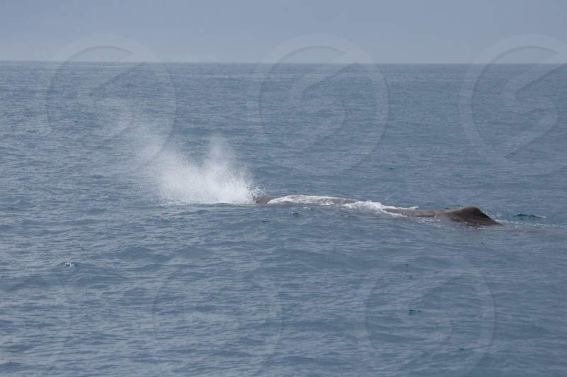 A sperm whale coming up for air photo
