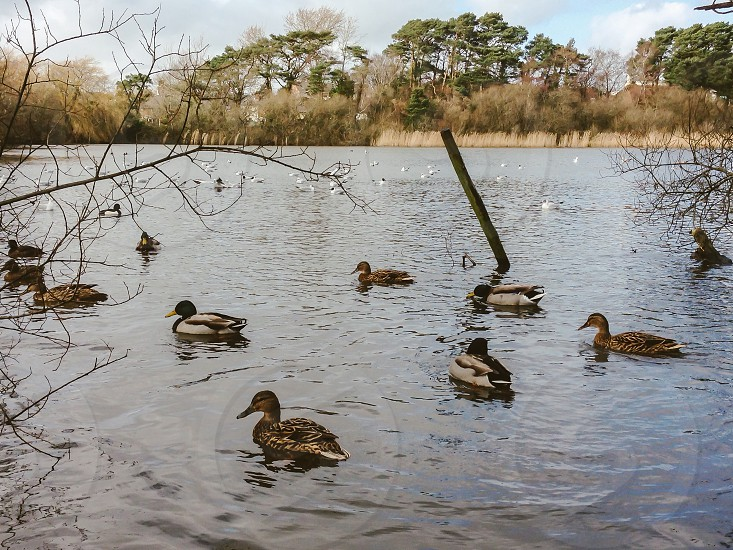 Feeding the ducks lake water ripples reflections reeds trees blue skies water birds photo