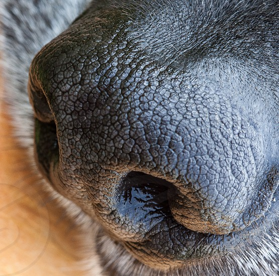 Dog nose wet nose nose nostrils dog nostrils pet photo