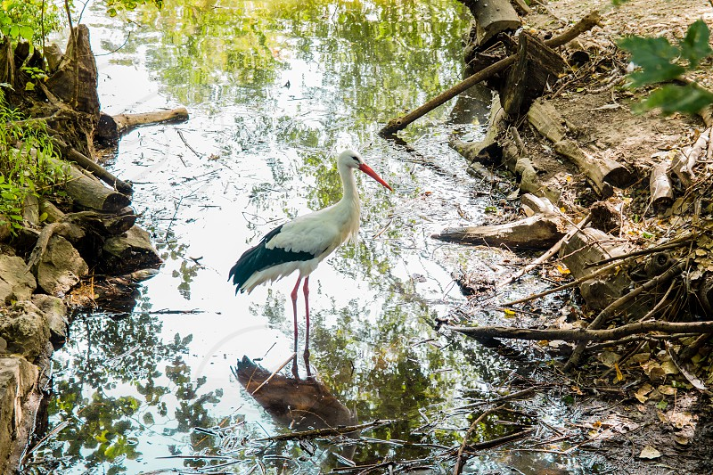 White Stork standing in the lake. photo